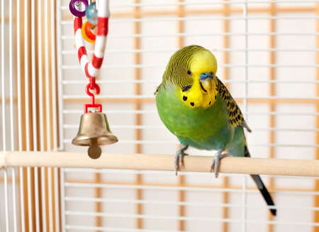 Green and yellow budgie parakeet on his cage.