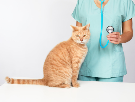veterinary physician doctor with stethoscope checking cat health Stock Photo