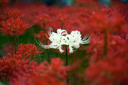 aquatic life: cluster amaryllis Stock Photo