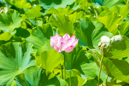 Lotus flower Archivio Fotografico