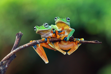 Tree frog, flying frog sitting on branch