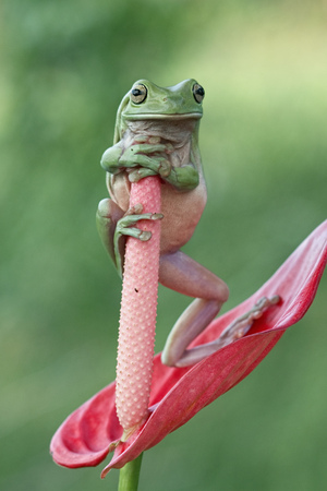Tree frog, dumpy frog  Stands in the bud
