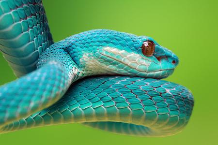 Snake, Blue viper