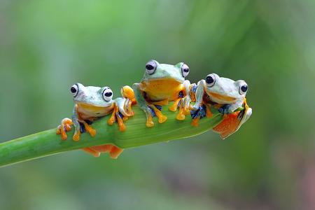 Tree frog, Javan tree frog Stockfoto