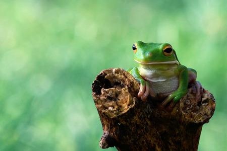 frog jump: Whitelips tree frog sitting on branch Stock Photo