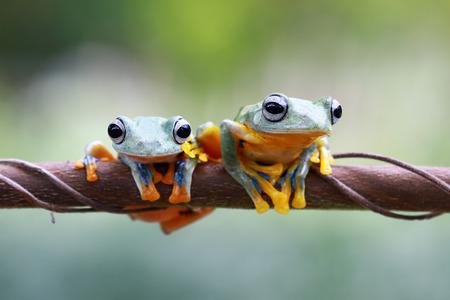 wallace: Tree frog, Javan tree frog on branch