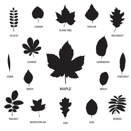 helechos: Vector colecci�n de siluetas de hojas aisladas sobre fondo blanco