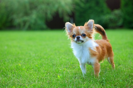 grassy plot: Lindo min�sculo cachorro chihuahua al aire libre, de pie en el c�sped