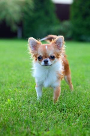 grassy plot: Lindo peque�o chihuahua cachorro al aire libre, de pie sobre el c�sped