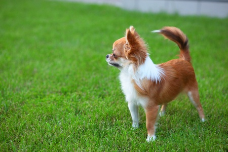 grassy plot: Cute tiny chihuahua puppy outdoors, standing on the lawn
