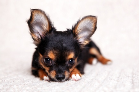 Tiny chihuahua puppy three months old on a woolen blanket photo