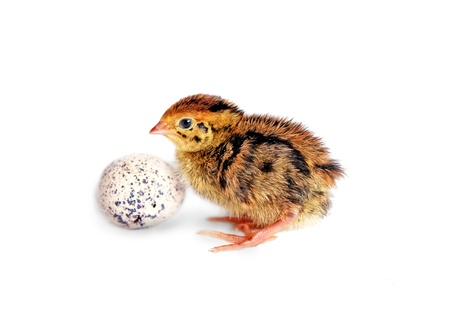 quail egg: A quail chick and an egg isolated