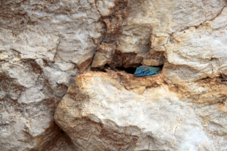 A small blue lizard looking outside through the crack in the rock. Dalmatolacerta oxycephala. Montenegro. photo