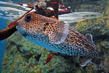 pez globo: Porcupinefish o pez globo tama�o normal en el acuario.