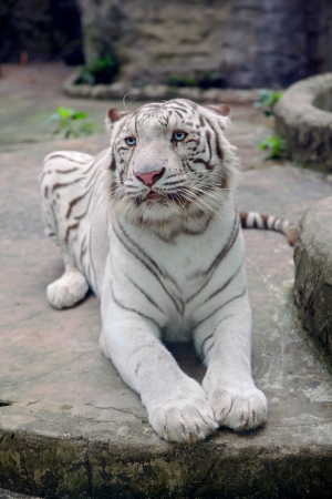 Beautiful white tiger in the Vietnamese zoo. photo