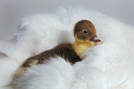 muscovy duck: Cute tiny muscovy duckling sits on a white fur. Studio shot