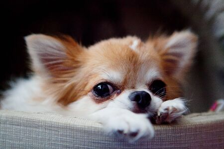 A cute red and white chihuahua lying in the shed