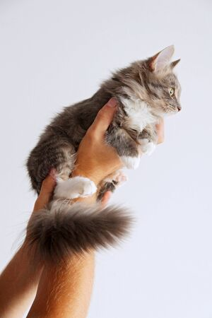 A cute tabby and white kitten in man's hands