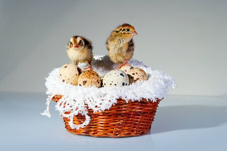 A cute tiny quail chicks with quail eggs in the basket Archivio Fotografico - 136899678