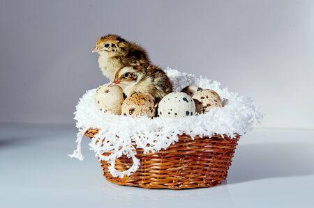 A cute tiny quail chicks with quail eggs in the basket Archivio Fotografico - 136899679