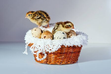 A cute tiny quail chicks with quail eggs in the basket