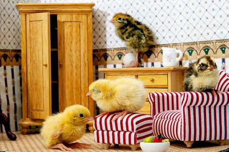 A cute tiny quail chicks in a tiny toy room Archivio Fotografico - 136899738