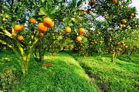 citrus: orange tree
