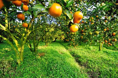 feld: Orangenbaum Lizenzfreie Bilder
