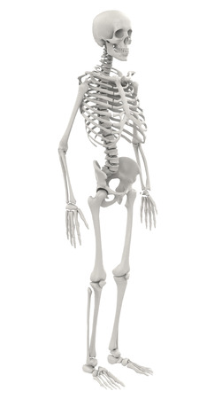 human skeleton isolated on white background Banque d'images