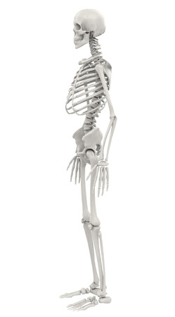 human skeleton isolated on white background Zdjęcie Seryjne