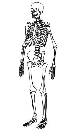 Skeleton human anatomy.  Vector skeleton isolated on white