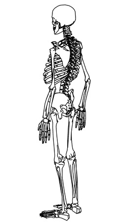 Skeleton human anatomy.  Vector skeleton isolated on white
