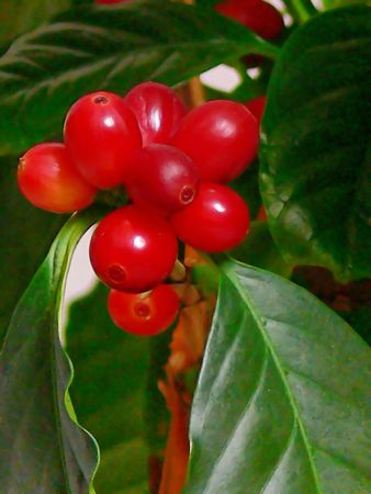 plant drug: Coffee beans  50814. Almost ripe coffee beans on a plant in my house.
