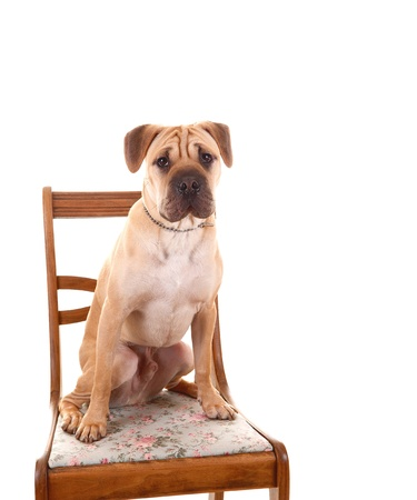 An puppy sharpei dog in closeup, sitting on a chair with his wrinkleface, for white background and looking into the camera  Stock Photo - 12910769