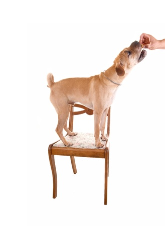 A young puppy sharpei dog standing on an old chair and gettinghis treat, for white background  photo