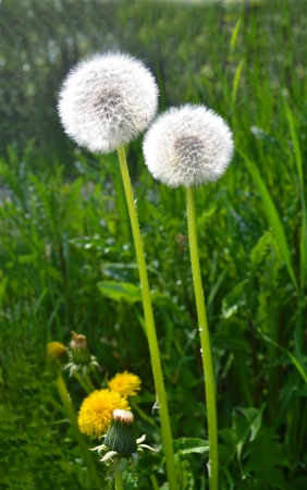 Two stem of dandelion seeds in a field of green grass in\ spring sunshine