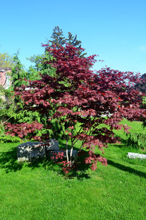 red oak tree: A small beautiful red oak tree in the front yard of a house on green grass.