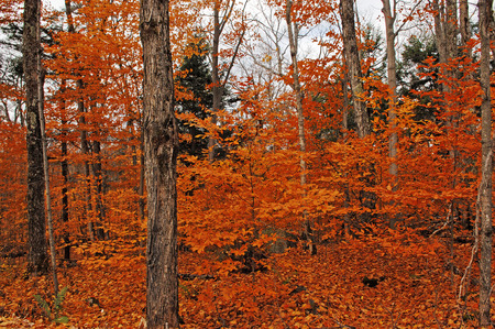 Beautiful orange leaves in the forest in autumn in Algonquin park in Ontario, Canada.