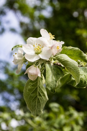 The branch of a blossoming apple tree with green leaves Stock Photo