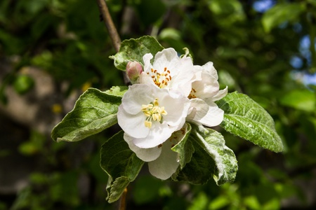 The branch of a blossoming apple tree with green leaves photo