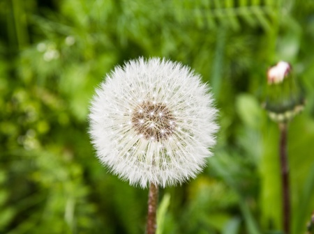 The head of a fluffy dandelion on a green meadow