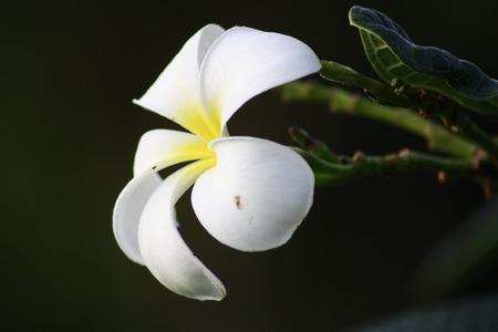 flora: Plumeria flora