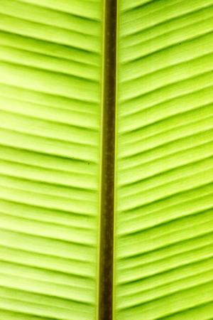 fend: foglia di banana Archivio Fotografico
