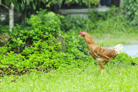 romp: Chicken romp in the park Stock Photo