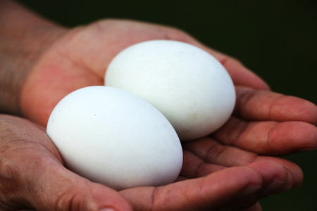 domestics: Hands holding two white eggs Stock Photo