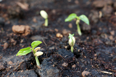 sprouting: Sprouting seeds Stock Photo