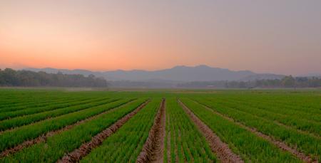 An evening scene from an onion farm Imagens