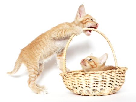 Kitten plays with the other kitten in a basket photo