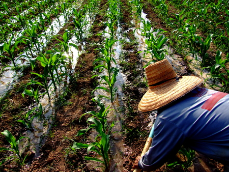 A corn farmer manually irrigates his corn field with a water pipe  The picture was taken from a corn field in the rural north of Thailand  Banco de Imagens
