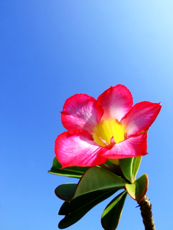 obesum: The beautiful blossom of a Desert Rose  Adenium obesum, Apocynaceae  plant  showing the pink and white petals on a clear blue sky